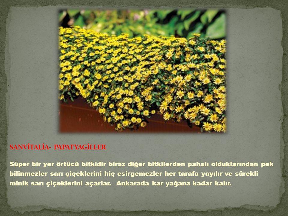 Süper bir yer örtücü bitkidir biraz diğer bitkilerden pahalı olduklarından pek bilinmezler sarı çiçeklerini hiç esirgemezler her tarafa yayılır ve sürekli minik sarı çiçeklerini açarlar.