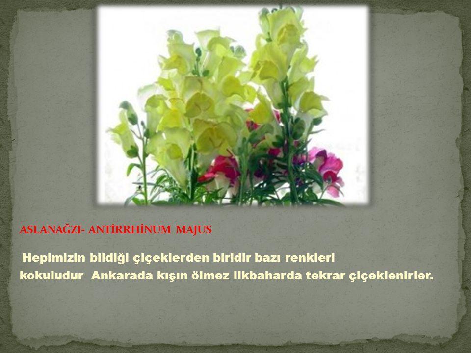 Hepimizin bildiği çiçeklerden biridir bazı renkleri kokuludur Ankarada kışın ölmez ilkbaharda tekrar çiçeklenirler.