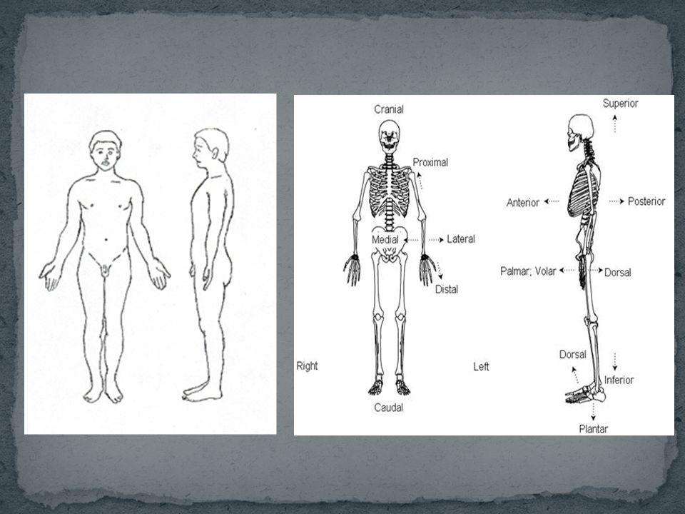 Mono- : Monosinaptik Di- : Digastricus Tri- : Triceps Para- : Paraumbilikal Meta- : Metakarpal Hyper- : Hiperekstensiyon Anti- : Antitragus Inter- : Intercondylaris Epi- : Epicondylus Hypo- : Hypothalamus