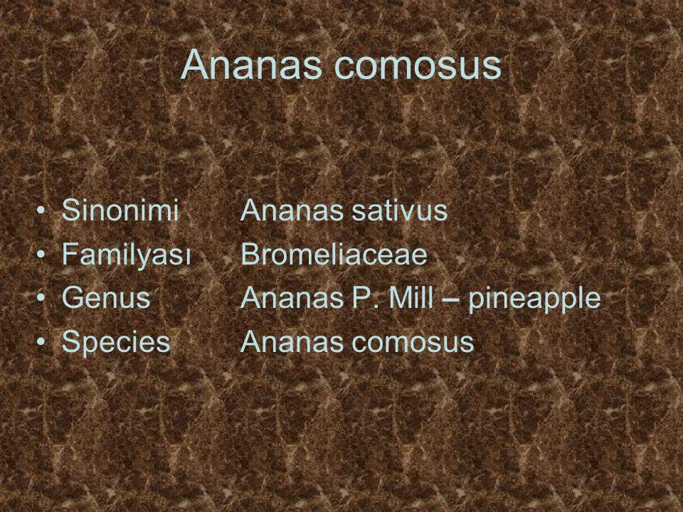 Ananas comosus SinonimiAnanas sativus FamilyasıBromeliaceae GenusAnanas P. Mill – pineapple Species Ananas comosus