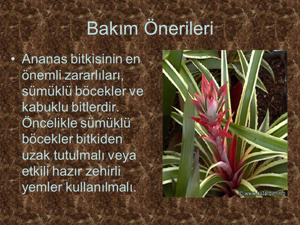Bakım Önerileri Ananas bitkisinin en önemli zararlıları, sümüklü böcekler ve kabuklu bitlerdir.