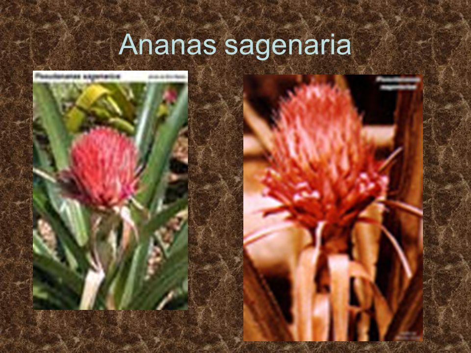Ananas sagenaria