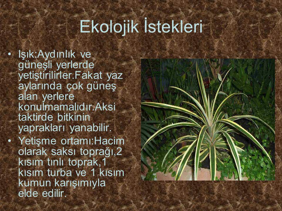Ekolojik İstekleri Işık:Aydınlık ve güneşli yerlerde yetiştirilirler.Fakat yaz aylarında çok güneş alan yerlere konulmamalıdır.Aksi taktirde bitkinin yaprakları yanabilir.