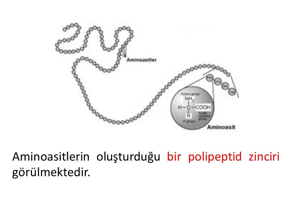Aminoasitlerin oluşturduğu bir polipeptid zinciri görülmektedir.