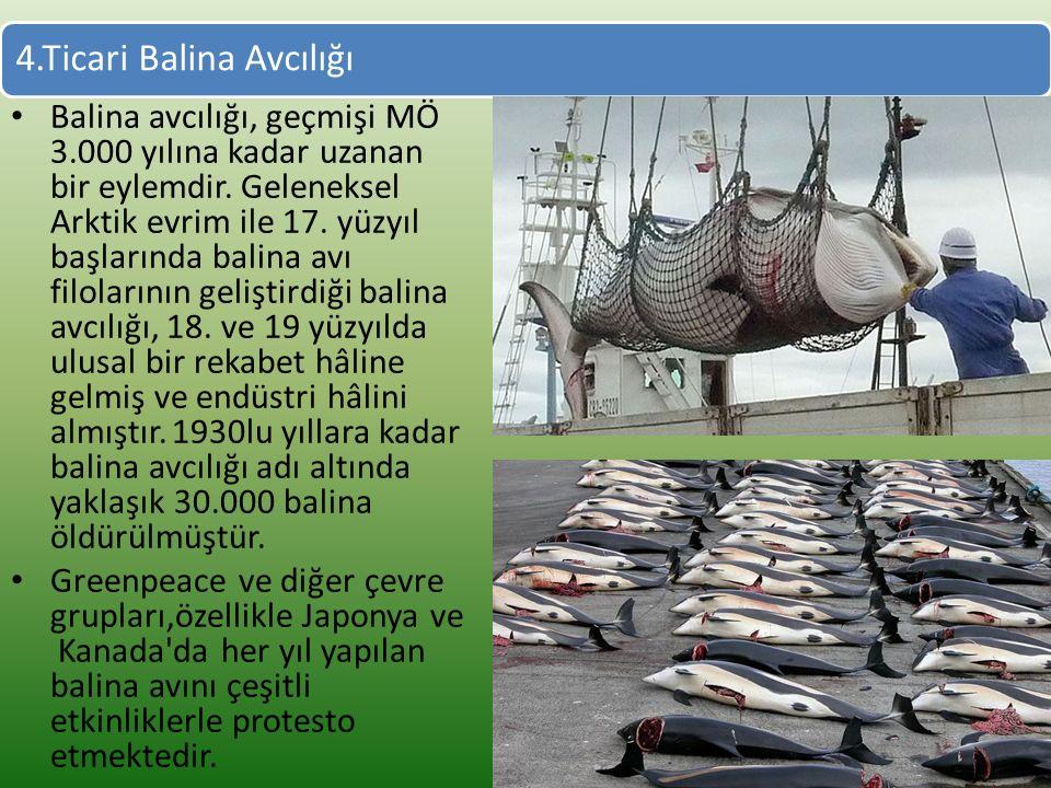 4.Ticari Balina Avcılığı Balina avcılığı, geçmişi MÖ 3.000 yılına kadar uzanan bir eylemdir.