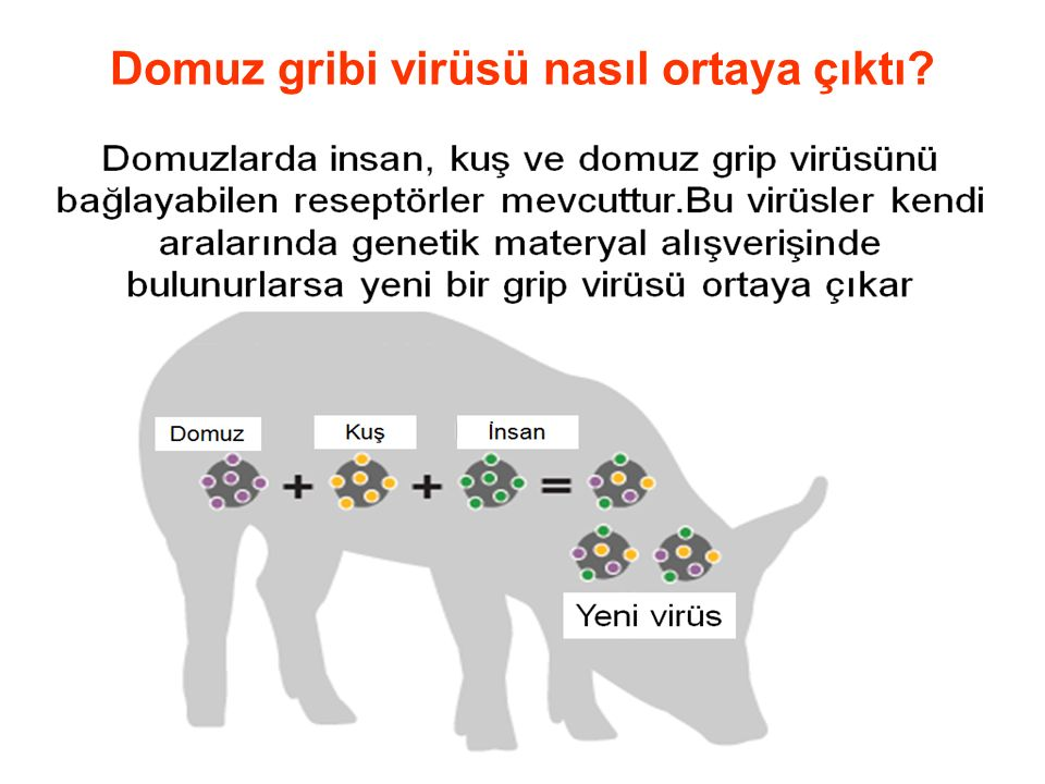 Domuz gribi virüsü nasıl ortaya çıktı?