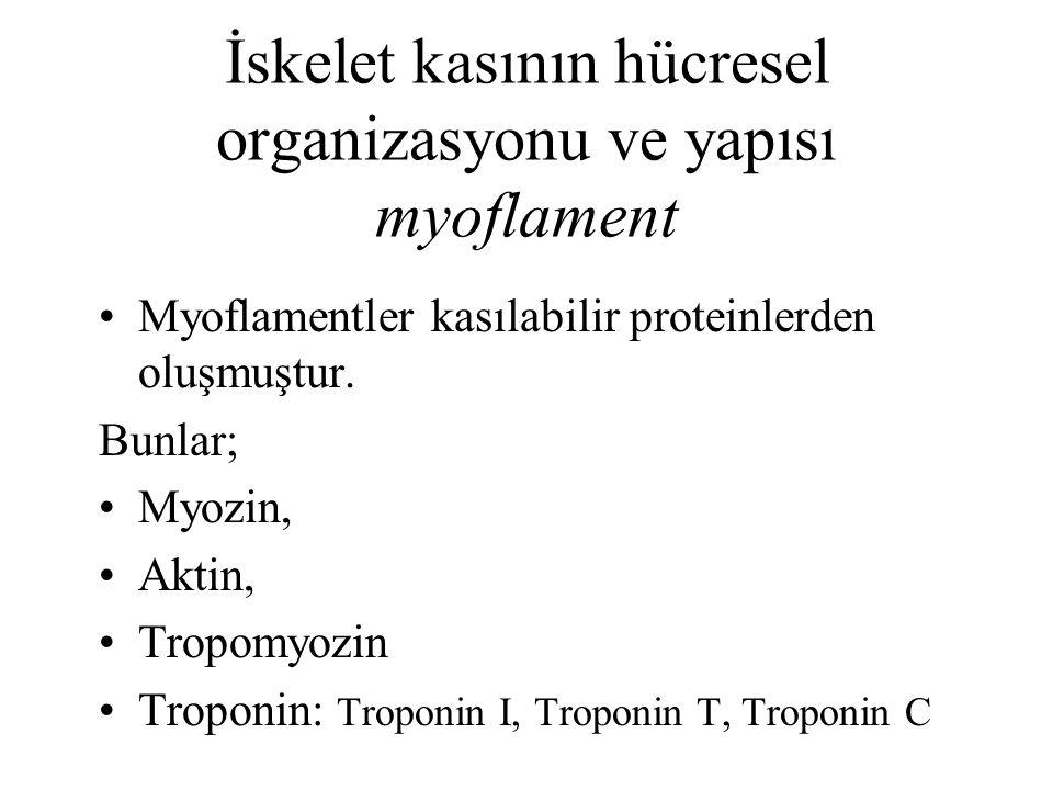 Myoflamentler kasılabilir proteinlerden oluşmuştur. Bunlar; Myozin, Aktin, Tropomyozin Troponin: Troponin I, Troponin T, Troponin C İskelet kasının hü