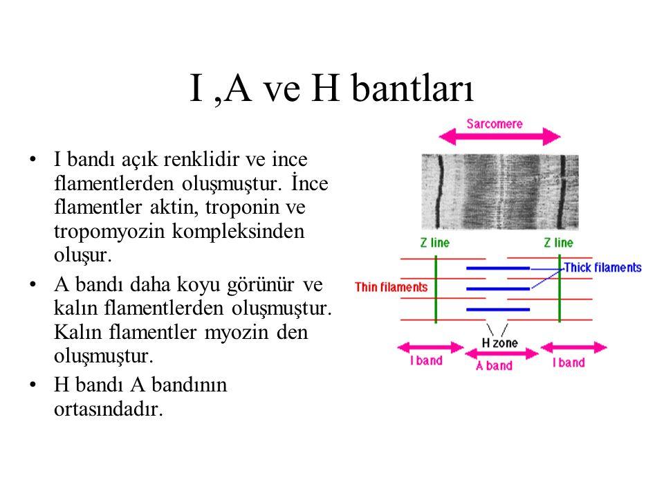I,A ve H bantları I bandı açık renklidir ve ince flamentlerden oluşmuştur. İnce flamentler aktin, troponin ve tropomyozin kompleksinden oluşur. A band