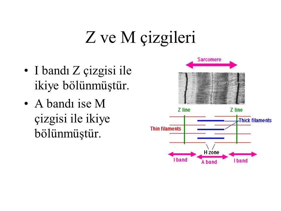 Z ve M çizgileri I bandı Z çizgisi ile ikiye bölünmüştür. A bandı ise M çizgisi ile ikiye bölünmüştür.