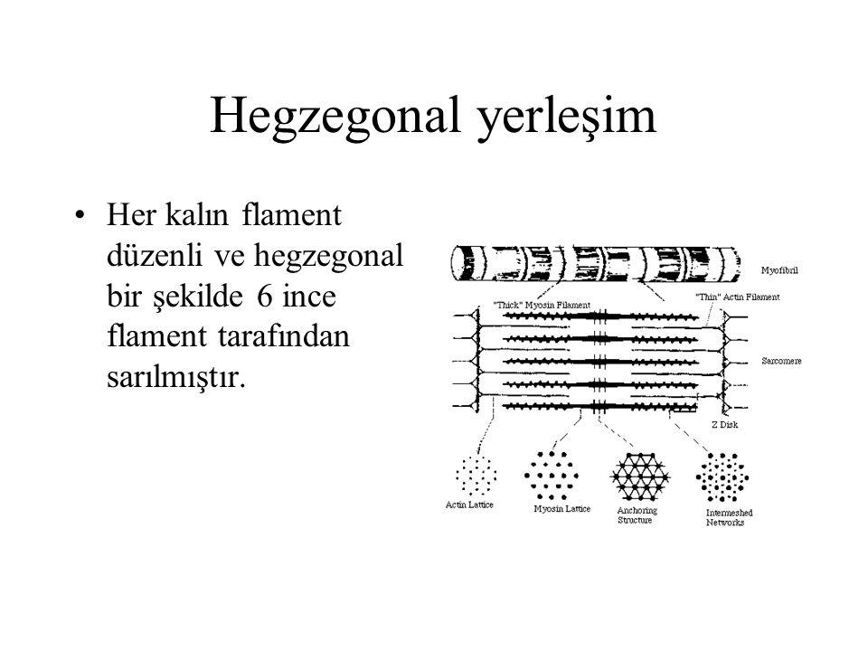 Hegzegonal yerleşim Her kalın flament düzenli ve hegzegonal bir şekilde 6 ince flament tarafından sarılmıştır.