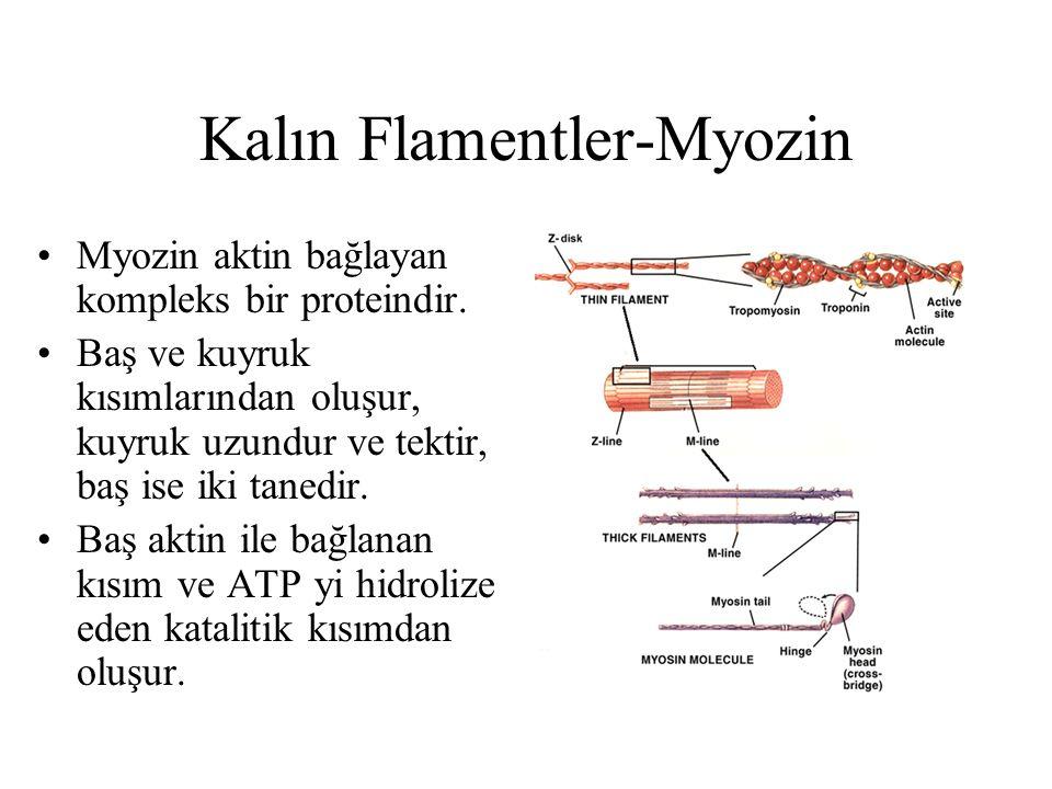 Kalın Flamentler-Myozin Myozin aktin bağlayan kompleks bir proteindir. Baş ve kuyruk kısımlarından oluşur, kuyruk uzundur ve tektir, baş ise iki taned