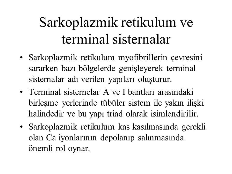 Sarkoplazmik retikulum ve terminal sisternalar Sarkoplazmik retikulum myofibrillerin çevresini sararken bazı bölgelerde genişleyerek terminal sisterna