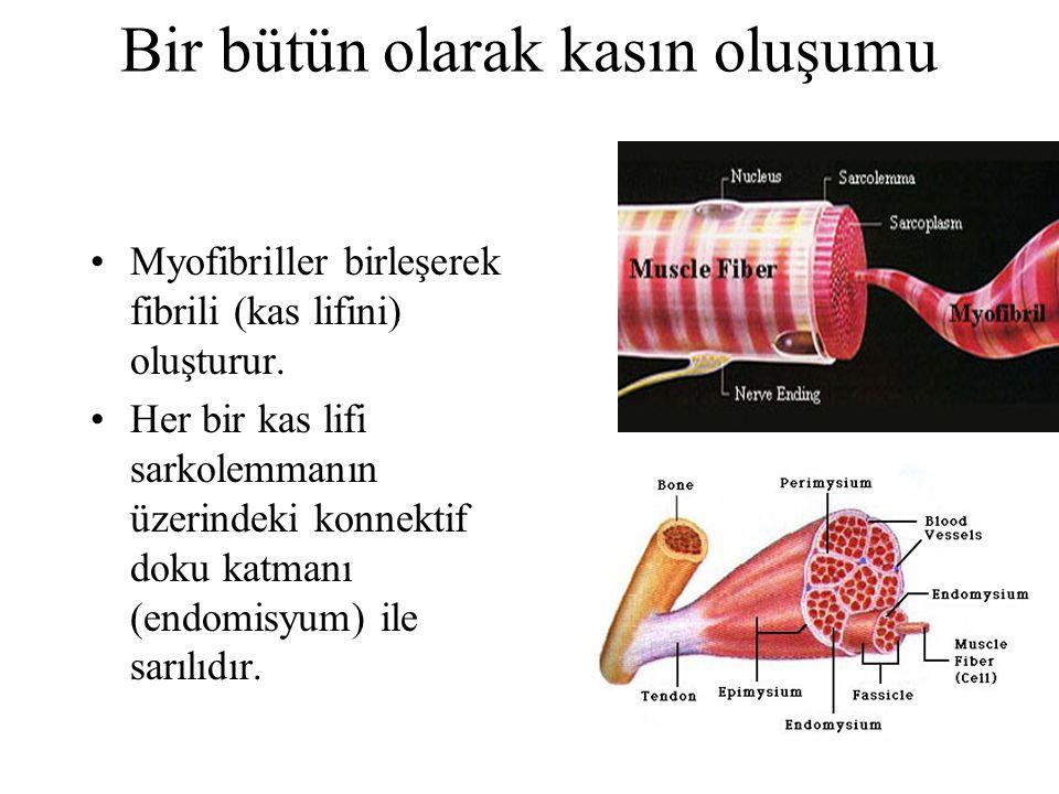 Myofibriller birleşerek fibrili (kas lifini) oluşturur. Her bir kas lifi sarkolemmanın üzerindeki konnektif doku katmanı (endomisyum) ile sarılıdır. B
