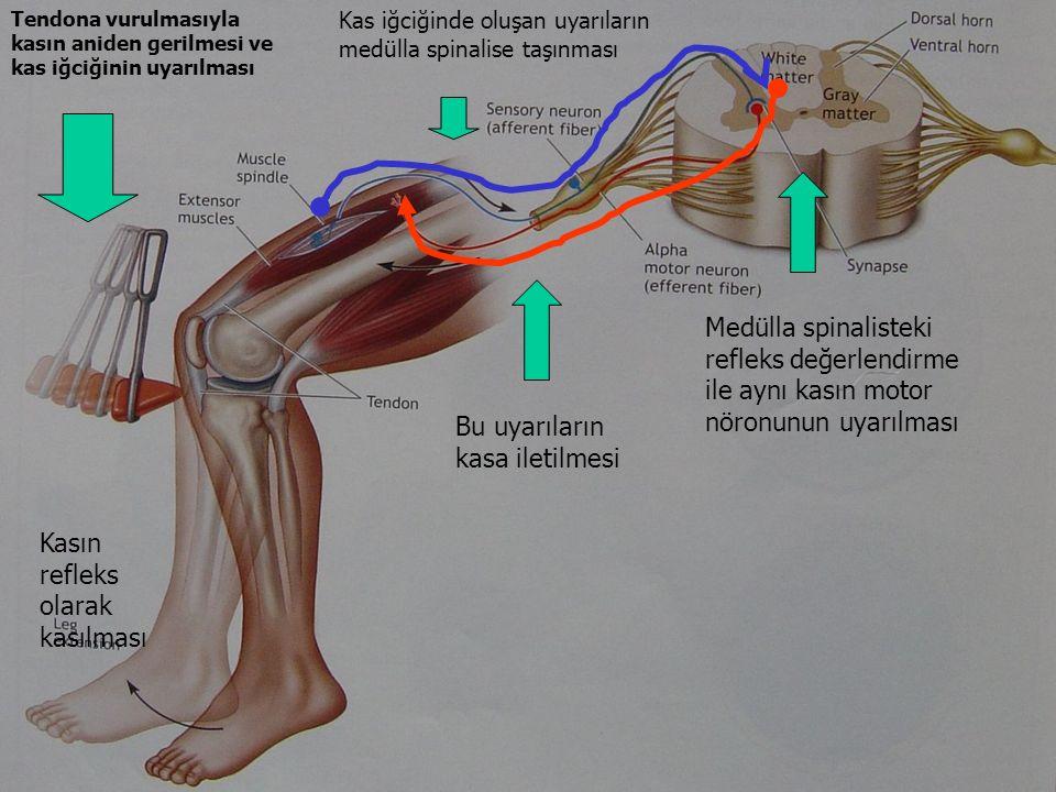 Tendona vurulmasıyla kasın aniden gerilmesi ve kas iğciğinin uyarılması Kas iğciğinde oluşan uyarıların medülla spinalise taşınması Bu uyarıların kasa