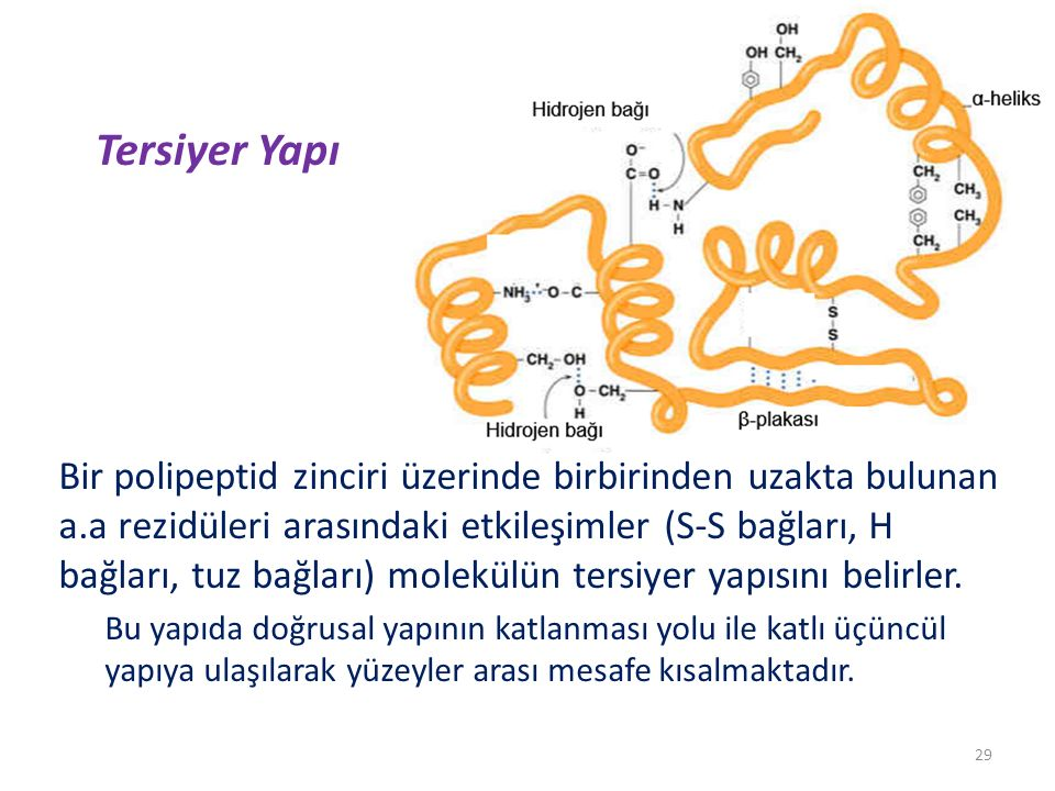 Tersiyer Yapı Bir polipeptid zinciri üzerinde birbirinden uzakta bulunan a.a rezidüleri arasındaki etkileşimler (S-S bağları, H bağları, tuz bağları) molekülün tersiyer yapısını belirler.