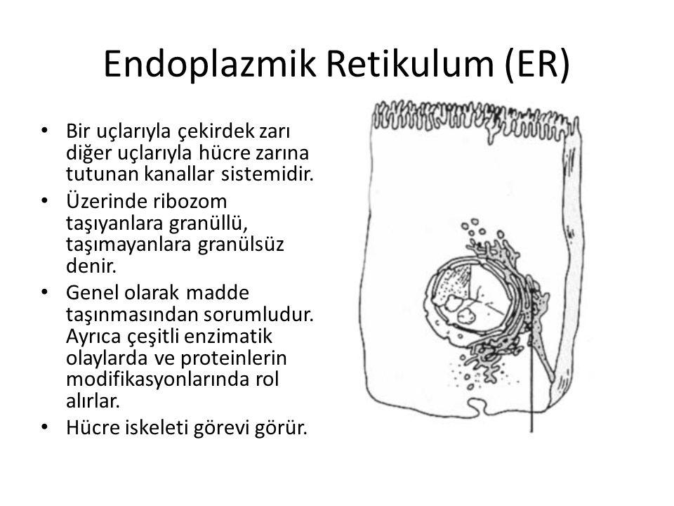 Endoplazmik Retikulum (ER) Bir uçlarıyla çekirdek zarı diğer uçlarıyla hücre zarına tutunan kanallar sistemidir. Üzerinde ribozom taşıyanlara granüllü