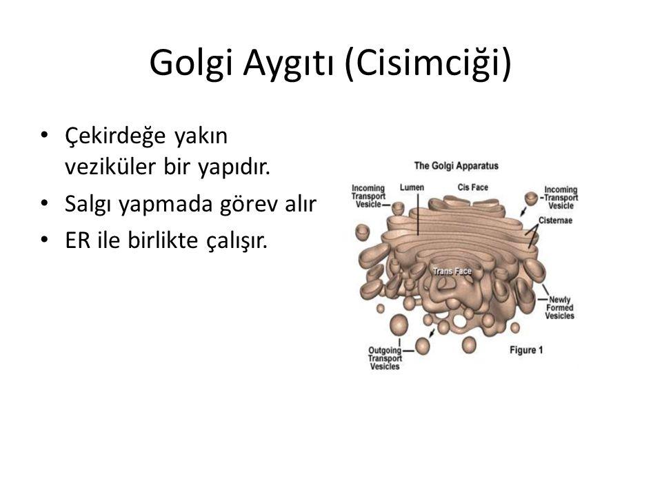 Golgi Aygıtı (Cisimciği) Çekirdeğe yakın veziküler bir yapıdır. Salgı yapmada görev alır ER ile birlikte çalışır.