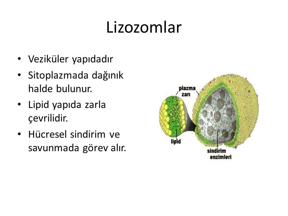 Lizozomlar Veziküler yapıdadır Sitoplazmada dağınık halde bulunur. Lipid yapıda zarla çevrilidir. Hücresel sindirim ve savunmada görev alır.
