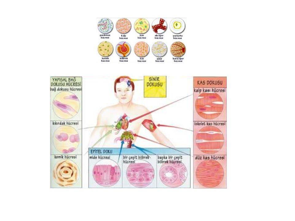 Canlılığın temel özellikleri Metabolizma: Vücutta gerçekleşen tüm kimyasal işlemleri ve süreçleri kapsamaktadır.