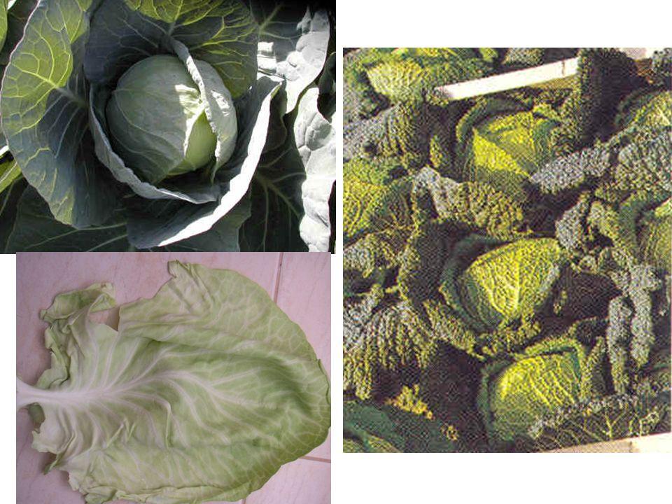 Lahana grubu sebzeler uygun şartlarda direkt tohumdan ekilebilir.