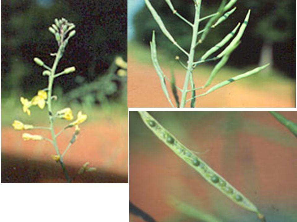 Ekim –Dikim (devamı) Lahana sıcak bölgelerimizde ikinci ürün olarak yetiştirilebilir.
