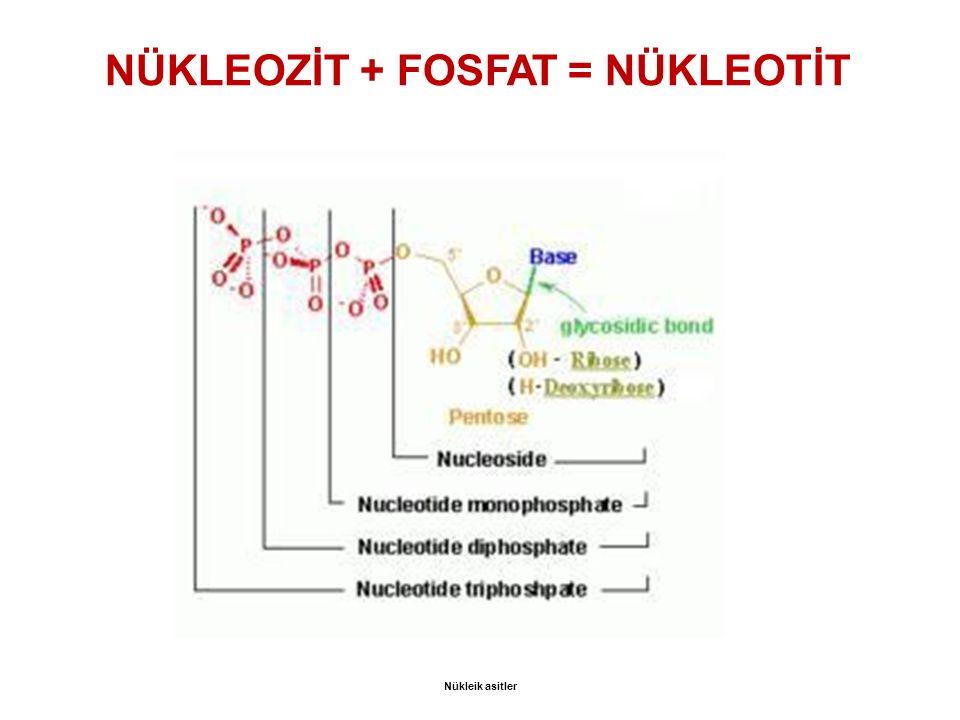 NÜKLEOZİT + FOSFAT = NÜKLEOTİT Nükleik asitler