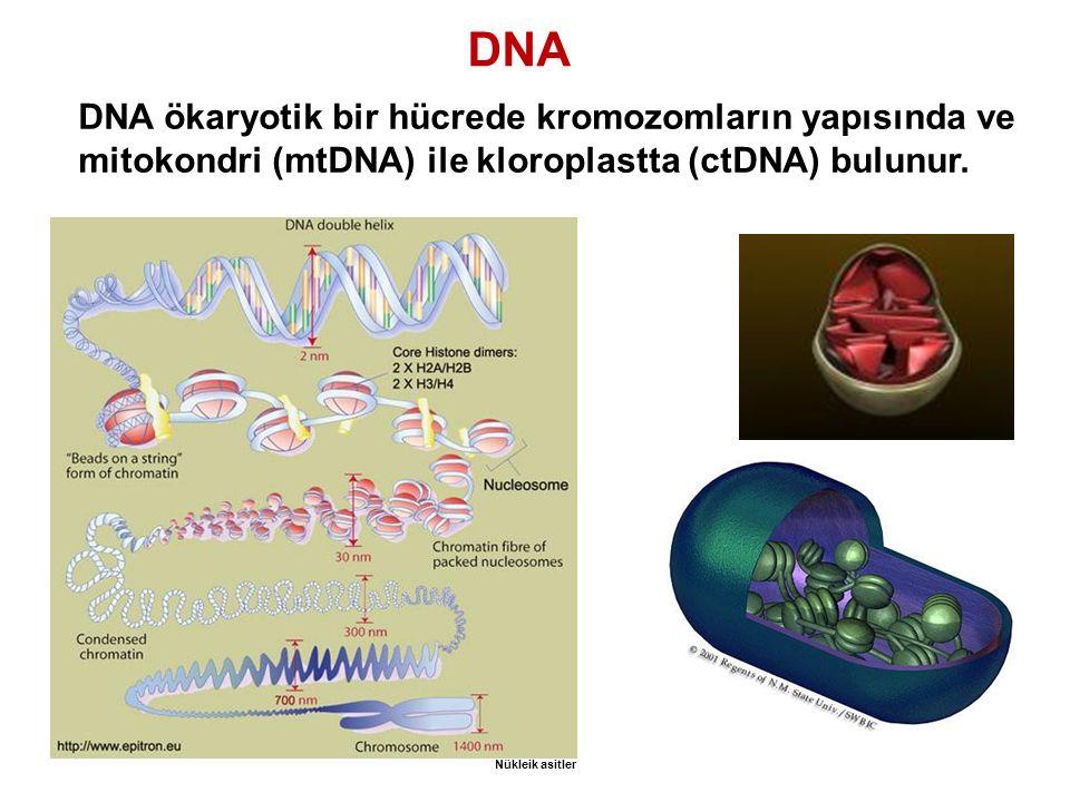 DNA DNA ökaryotik bir hücrede kromozomların yapısında ve mitokondri (mtDNA) ile kloroplastta (ctDNA) bulunur. Nükleik asitler