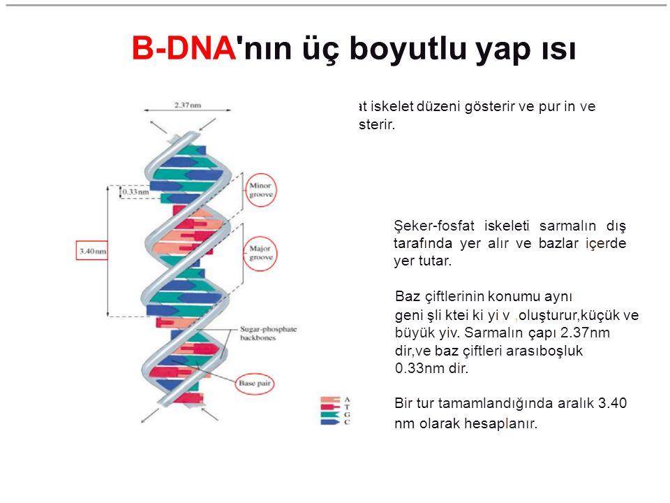 B-DNA'nın üç boyutlu yap ısı Bu model baz çiftleri ve şeker fosfat iskelet düzeni gösterir ve pur in ve pirimidin bazların rölatif ebadını gösterir. Ş