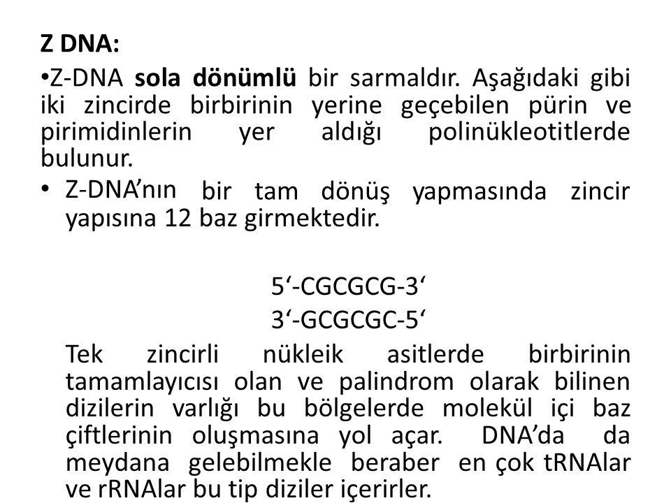 Z DNA: Z-DNA sola dönümlü bir sarmaldır.