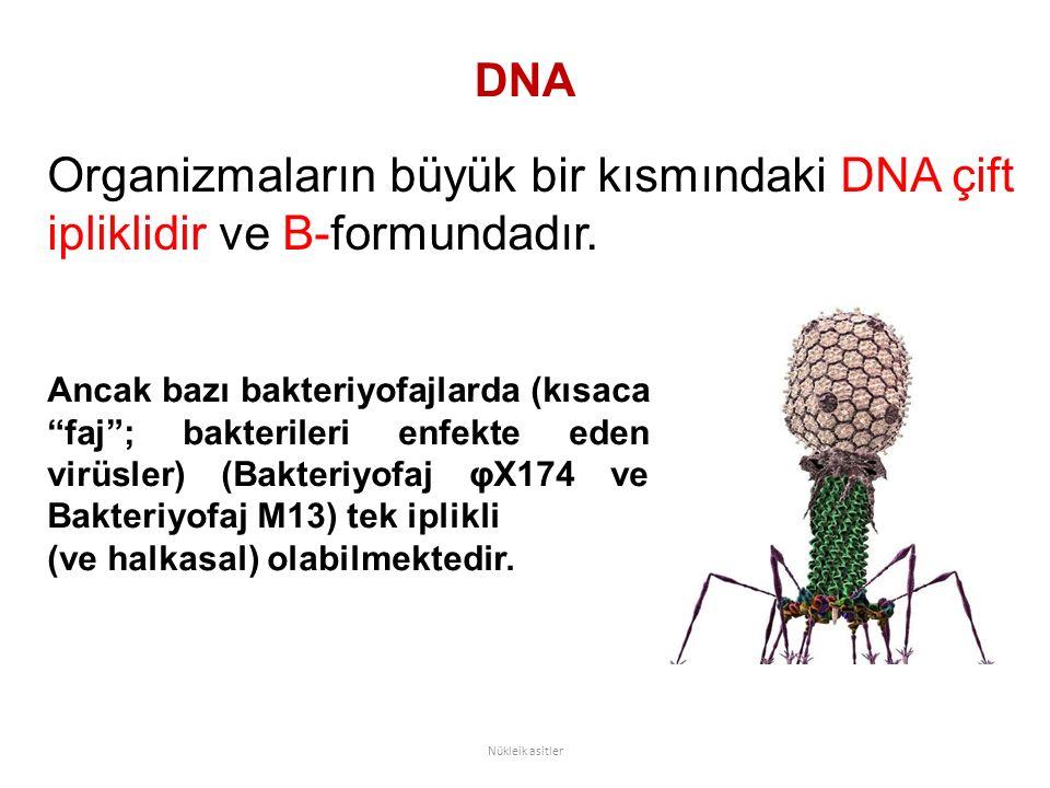 """DNA Organizmaların büyük bir kısmındaki DNA çift ipliklidir ve B-formundadır. Nükleik asitler Ancak bazı bakteriyofajlarda (kısaca """"faj""""; bakterileri"""
