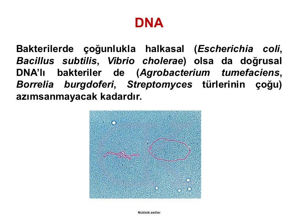 DNA Bakterilerde çoğunlukla halkasal (Escherichia coli, Bacillus subtilis, Vibrio cholerae) olsa da doğrusal DNA'lı bakteriler de (Agrobacterium tumefaciens, Borrelia burgdoferi, Streptomyces türlerinin çoğu) azımsanmayacak kadardır.