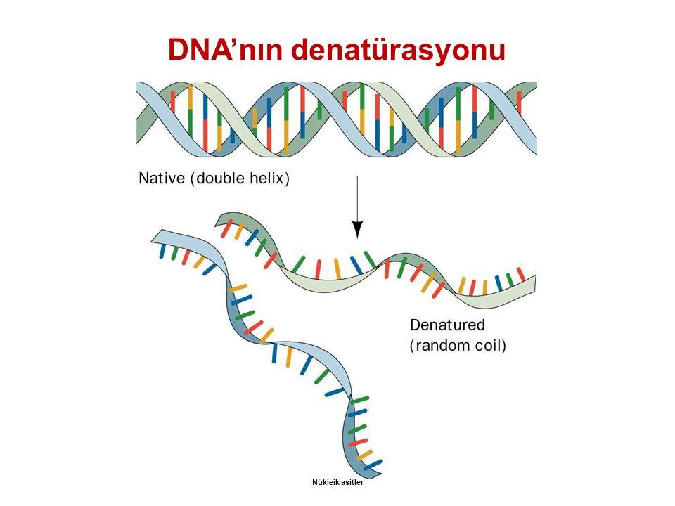 DNA'nın denatürasyonu Nükleik asitler