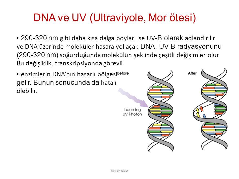 DNA ve UV (Ultraviyole, Mor ötesi) 290-320 nm gibi daha kısa dalga boyları ise UV -B olarak adlandırılır ve DNA üzerinde moleküler hasara yol açar. DN