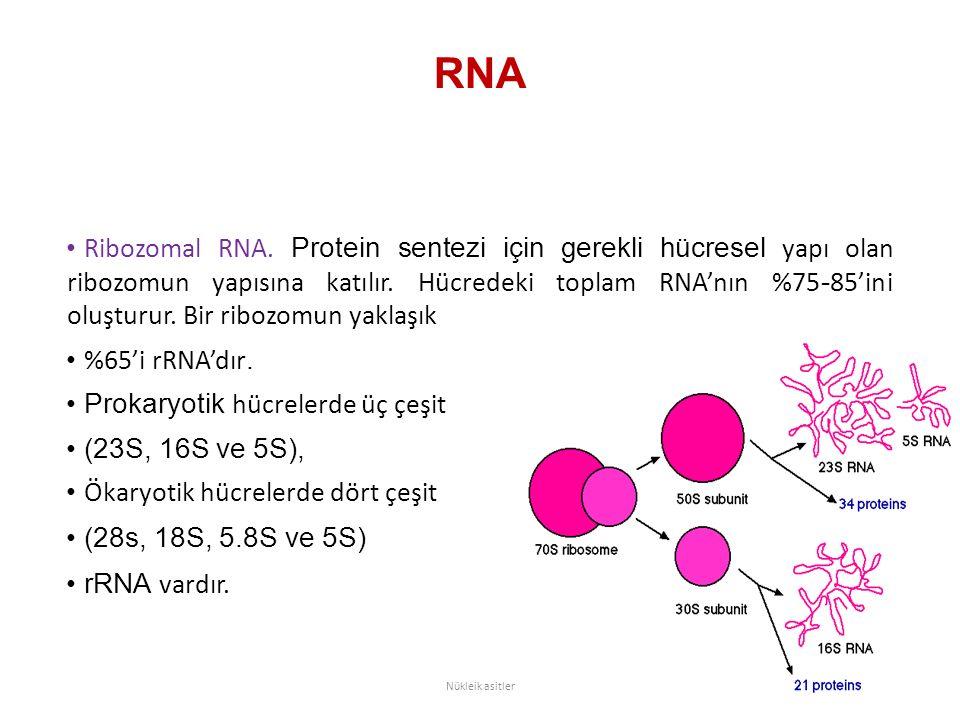 RNA Ribozomal RNA. Protein sentezi için gerekli hücresel yapı olan ribozomun yapısına katılır. Hücredeki toplam RNA'nın %75 - 85'ini oluşturur. Bir ri