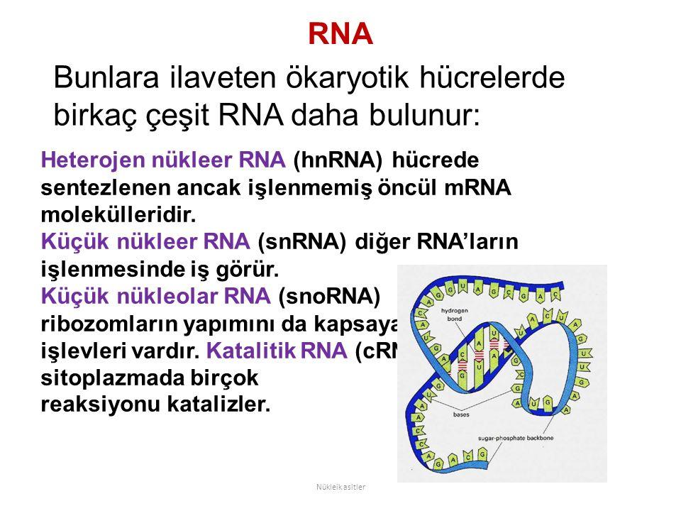 RNA Bunlara ilaveten ökaryotik hücrelerde birkaç çeşit RNA daha bulunur: Nükleik asitler Heterojen nükleer RNA (hnRNA) hücrede sentezlenen ancak işlenmemiş öncül mRNA molekülleridir.