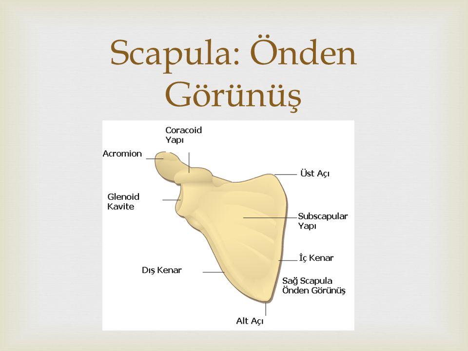  Scapula: Arkadan Görünüş  Spina Scapulae  Fossa supra spinata  Fossa infrasupinata  Laterale doğru yassı çıkıntı ile sonlanır «Acromion»  Kürek kemiği dış köşesindeki eklem yüzeyi «cavitas glenoidalis»  Scapula humerus ile eklem yaparak «Articulatio humeri» oluşturur.