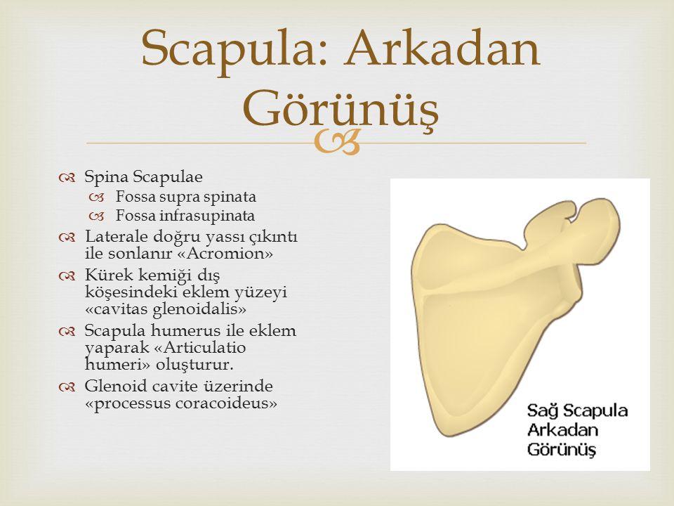  Scapula: Arkadan Görünüş  Spina Scapulae  Fossa supra spinata  Fossa infrasupinata  Laterale doğru yassı çıkıntı ile sonlanır «Acromion»  Kürek