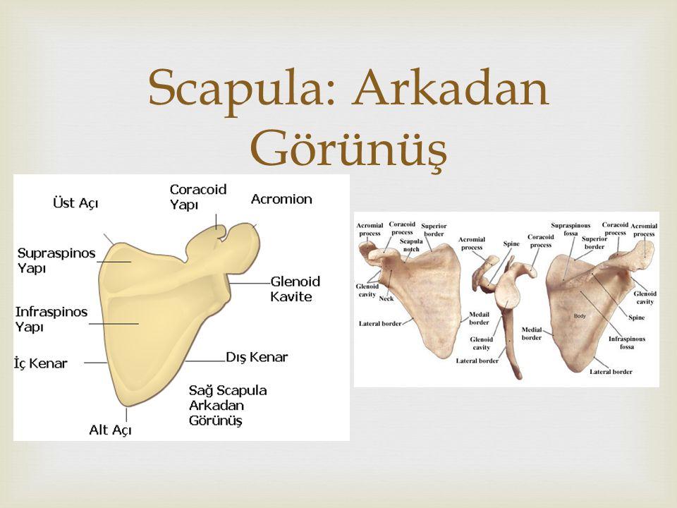   Articulatio Humeroulnaris; Menteşe tipi eklem yalnızca fleksiyon ve ekstansiyon yapabilir.