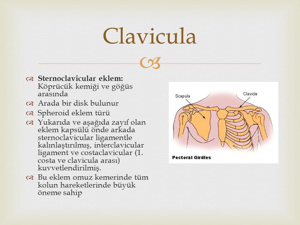  Clavicula  Sternoclavicular eklem: Köprücük kemiği ve göğüs arasında  Arada bir disk bulunur  Spheroid eklem türü  Yukarıda ve aşağıda zayıf ola