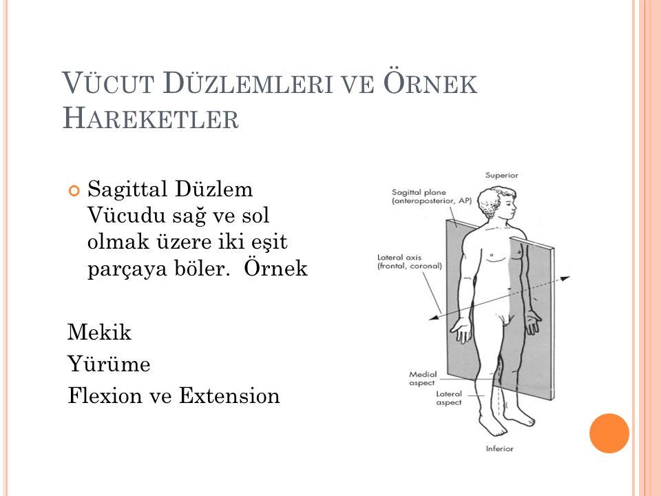 V ÜCUT D ÜZLEMLERI VE Ö RNEK H AREKETLER Sagittal Düzlem Vücudu sağ ve sol olmak üzere iki eşit parçaya böler.