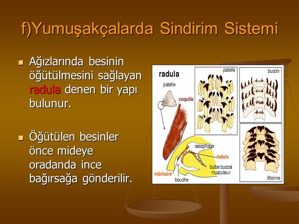 f)Yumuşakçalarda Sindirim Sistemi Ağızlarında besinin öğütülmesini sağlayan radula denen bir yapı bulunur.