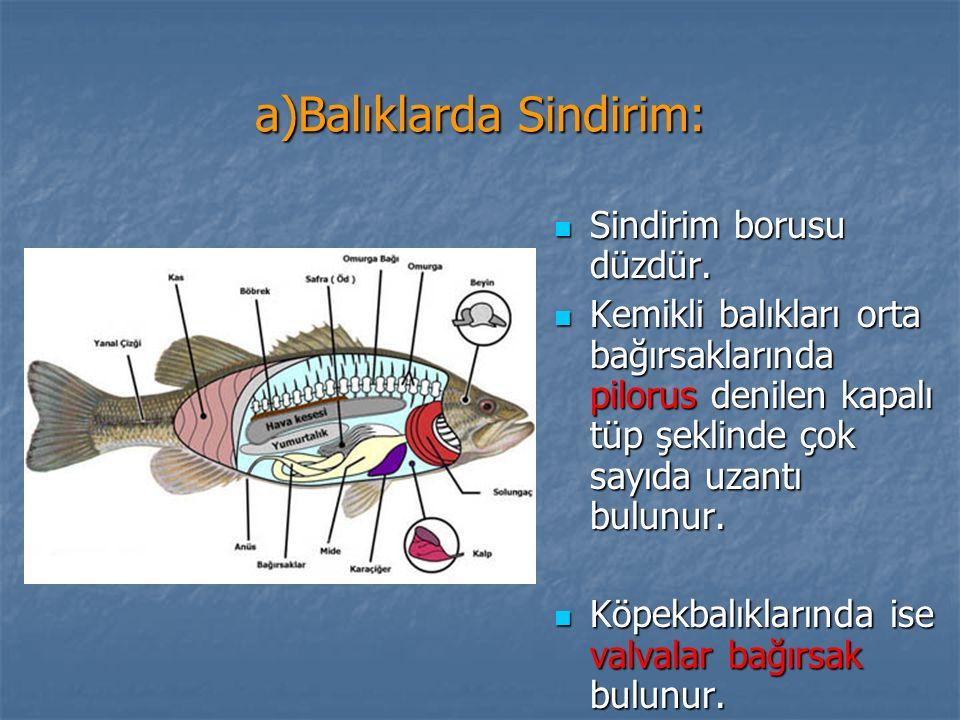 a)Balıklarda Sindirim: Sindirim borusu düzdür. Sindirim borusu düzdür. Kemikli balıkları orta bağırsaklarında pilorus denilen kapalı tüp şeklinde çok