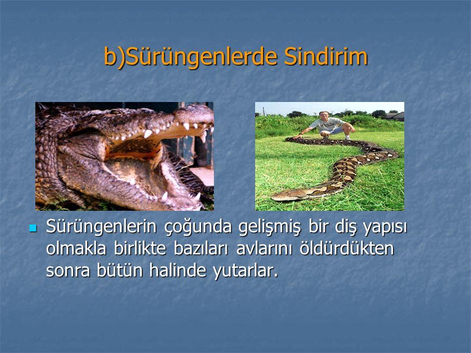 b)Sürüngenlerde Sindirim Sürüngenlerin çoğunda gelişmiş bir diş yapısı olmakla birlikte bazıları avlarını öldürdükten sonra bütün halinde yutarlar.