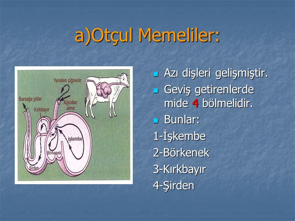 a)Otçul Memeliler: Azı dişleri gelişmiştir. Azı dişleri gelişmiştir. Geviş getirenlerde mide 4 bölmelidir. Geviş getirenlerde mide 4 bölmelidir. Bunla