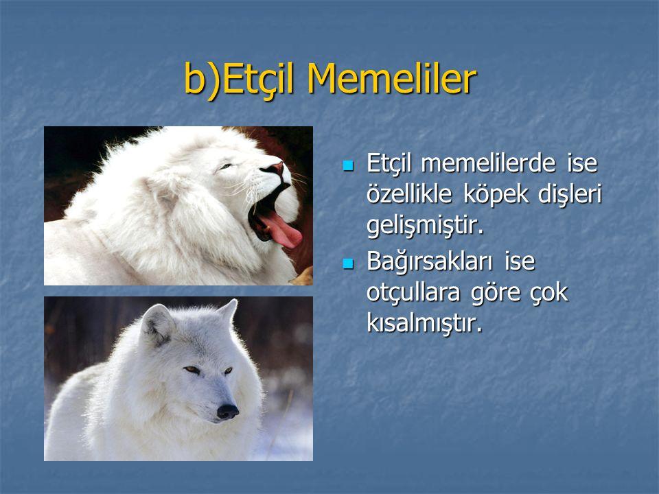 b)Etçil Memeliler Etçil memelilerde ise özellikle köpek dişleri gelişmiştir. Etçil memelilerde ise özellikle köpek dişleri gelişmiştir. Bağırsakları i