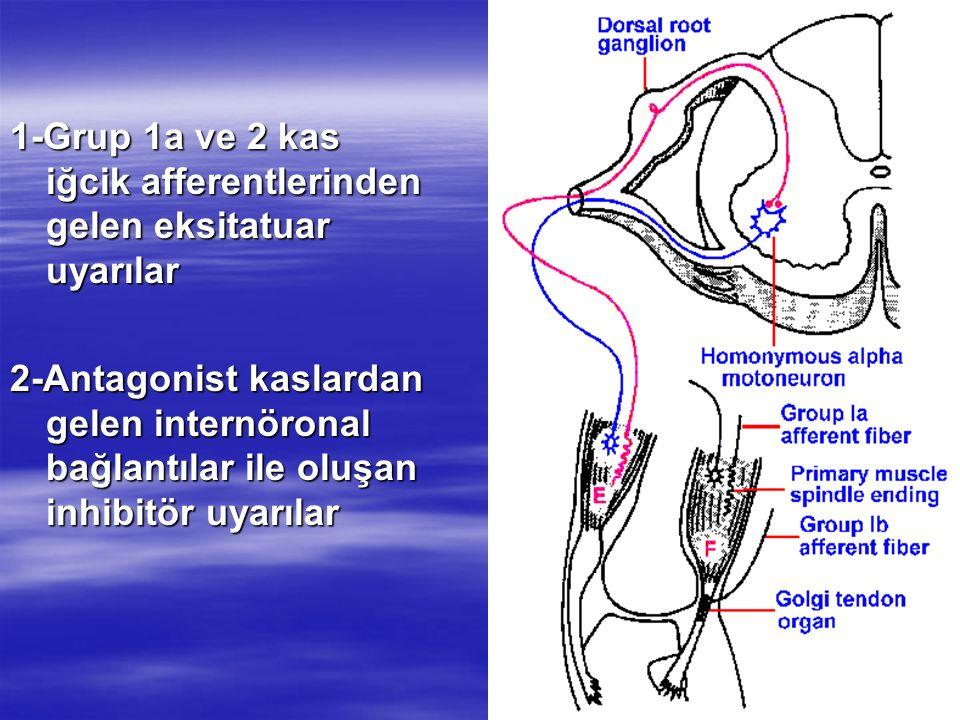 1-Grup 1a ve 2 kas iğcik afferentlerinden gelen eksitatuar uyarılar 2-Antagonist kaslardan gelen internöronal bağlantılar ile oluşan inhibitör uyarıla