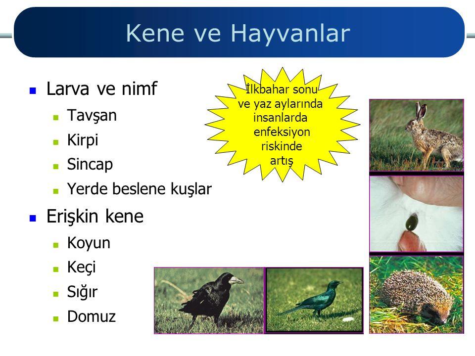 Kene ve Hayvanlar Larva ve nimf Tavşan Kirpi Sincap Yerde beslene kuşlar Erişkin kene Koyun Keçi Sığır Domuz İlkbahar sonu ve yaz aylarında insanlarda