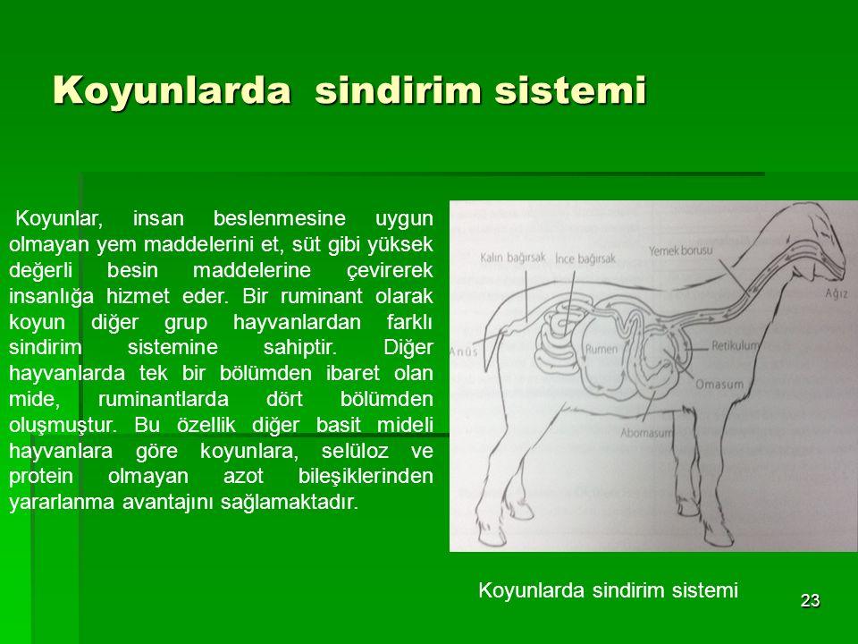 Koyunlarda sindirim sistemi 23 Koyunlarda sindirim sistemi Koyunlar, insan beslenmesine uygun olmayan yem maddelerini et, süt gibi yüksek değerli besi