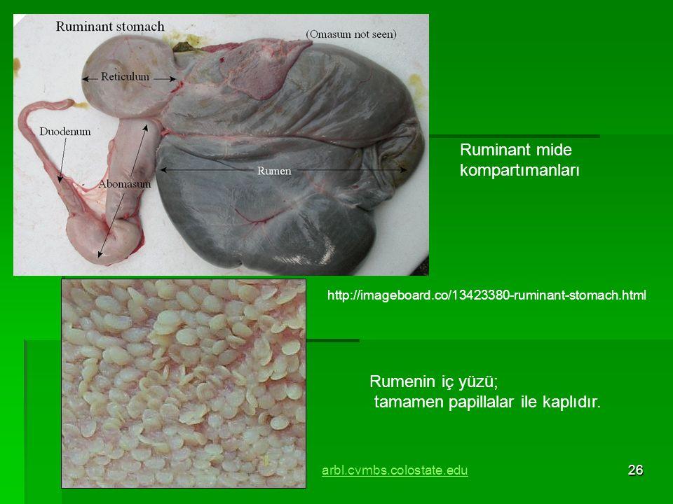 26 Ruminant mide kompartımanları Rumenin iç yüzü; tamamen papillalar ile kaplıdır. arbl.cvmbs.colostate.edu http://imageboard.co/13423380-ruminant-sto
