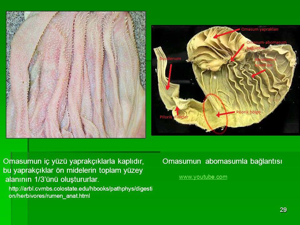 29 Omasumun iç yüzü yaprakçıklarla kaplıdır, bu yaprakçıklar ön midelerin toplam yüzey alanının 1/3'ünü oluştururlar. Omasumun abomasumla bağlantısı w